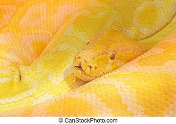 Python snake - Big yellow python snake