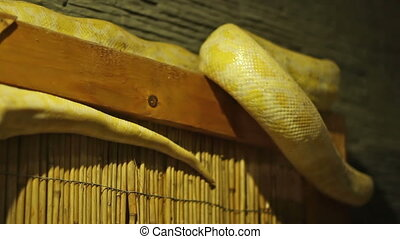 Python Snake - Yellow pyhton snake moving. The Python...