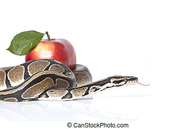 Python Snake with red apple - Royal Python with red apple...