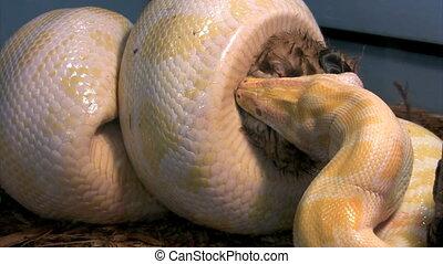 Python - burmese python squeezes and suffocates rabbit