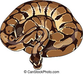 The spotted python curled in a ring.