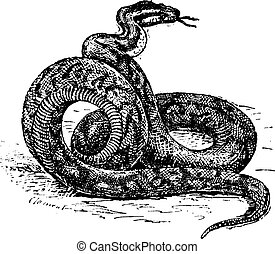 Python vintage engraving - Old engraved illustration of...