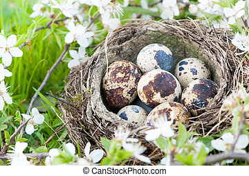 Qail eggs in nest on blossoming cherry tree