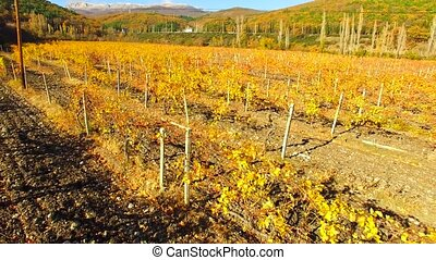 Quadrocopter flies over the autumn vineyard - Quadroopter...