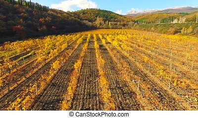 Quadrocopter flies over the rows of autumn vineyard