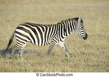 quagga), zebra, (equus