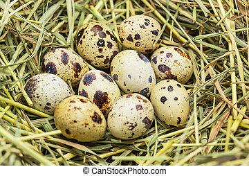 Quail eggs in a straw nest
