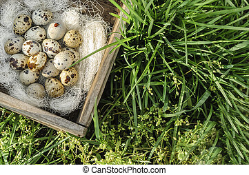 Quail eggs in a wooden box on the green grass