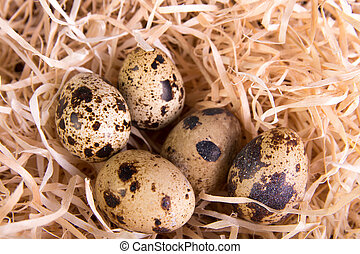 Quail eggs in nest of hay. Close up.