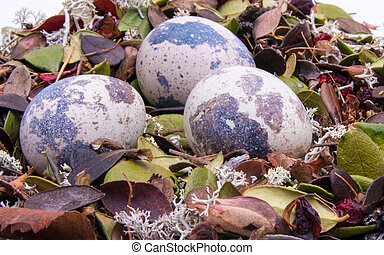Quail eggs in the nest close-up