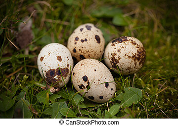 Quail Eggs On The Grass