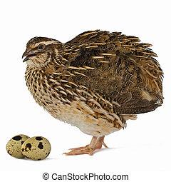 quail ei, ihr