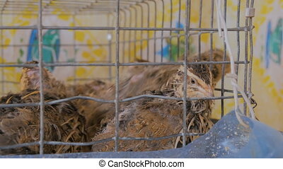 Quails in cages at home farm. Poultry farming and...