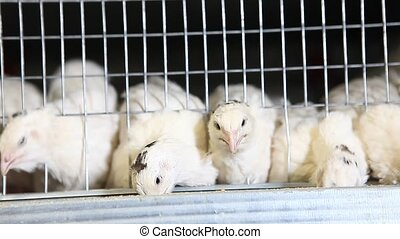 quails in cages at poultry farm