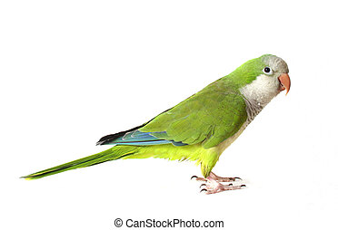 Quaker Parrot Isolated on White