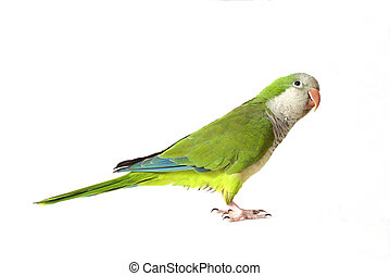Quaker Parrot On White, Looking Up