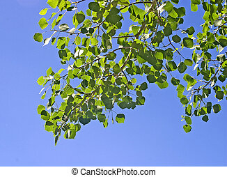 Quaking Aspen Branch - Branch of Quaking Aspen, Populus ...