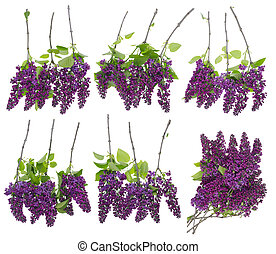 set of isolated lilac branches