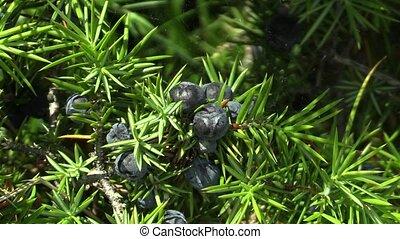 Quality natural mature berries purple of Juniperus communis...