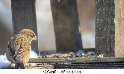 Quarrelsome sparrow on the wood feeder
