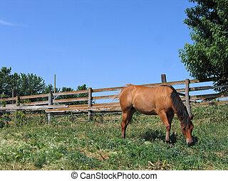 Quarter Horse - Dun quarter horse filly grazing in a paddock