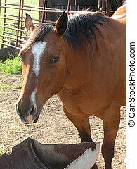 Quarter horse eating