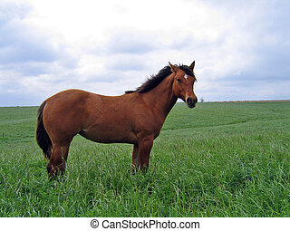 Quarter Horse Filly - Quarter horse filly standing in the ...