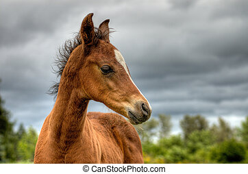 Quarter horse foal - Young foal, colt in rural country ...
