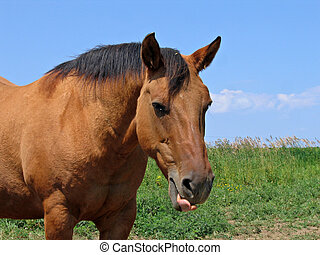 Dun quarter horse mare getting ready to yawn
