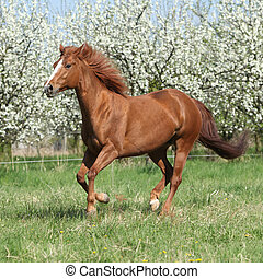 Quarter horse running in front of flowering trees