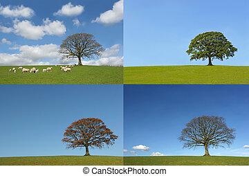 quatre, arbre chêne, saisons