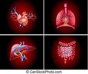 quatre, différent, parties, organes, humain