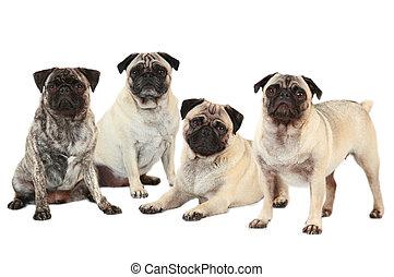 quatre, isolé, pugs