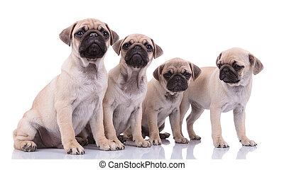 quatro, branca, pugs, equipe, fundo