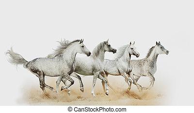quattro, bello, cavalli arabi