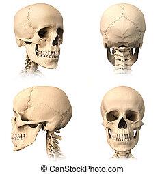 quattro, cranio, umano, views.