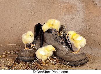 quattro, pulcini, pasqua, scarpe, rampicante