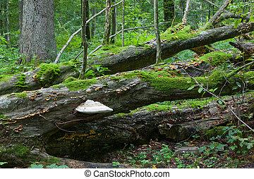 quebrada, antigas, hornbeam, árvore, com, polypore, fungo