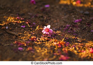 queda, sakura, em, a, chão
