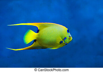 Queen Angelfish (Holoacanthus ciliaris) - A large Queen...