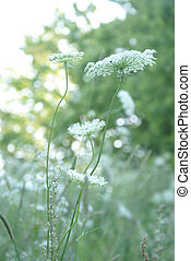Queen Anne Lace Flower Series