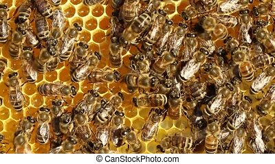 Queen Bee and Bees - Queen bee moves cells with nectar.