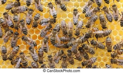 Queen bee and bees than the Sun are alarmed. - Bees and...