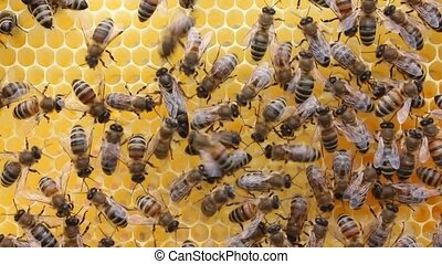 Queen bee and bees than the sun are alarmed - Queen bee lays...