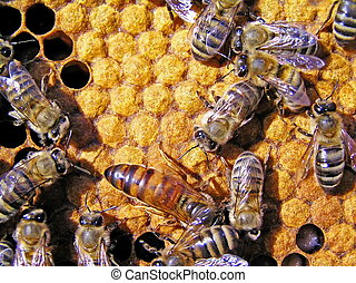 Queen bee behind work. - The queen bee searches for the...