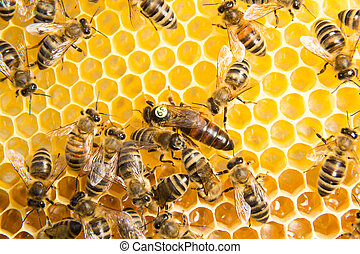 Queen bee in a beehive laying eggs supported by worker bees