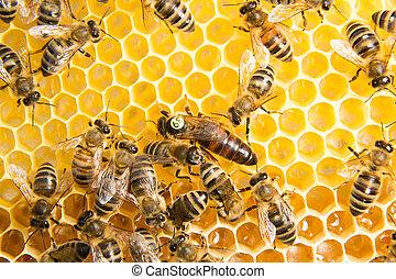 Queen bee in bee hive laying eggs - Queen bee in a beehive...