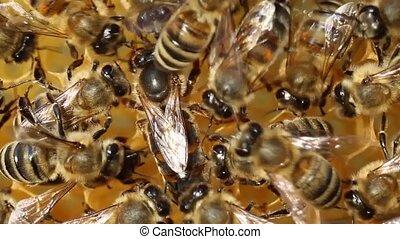 Queen bee lays eggs in the cell - Queen bee is always...