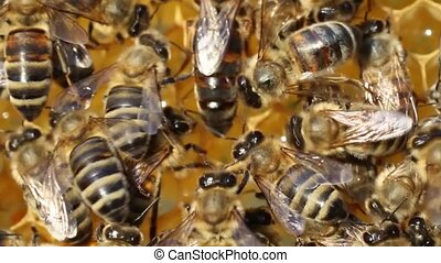 Queen bee lays eggs in the cell. - Queen bee is always...