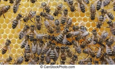 Queen bee moves honeycombs with nectar. - among cells. Queen...